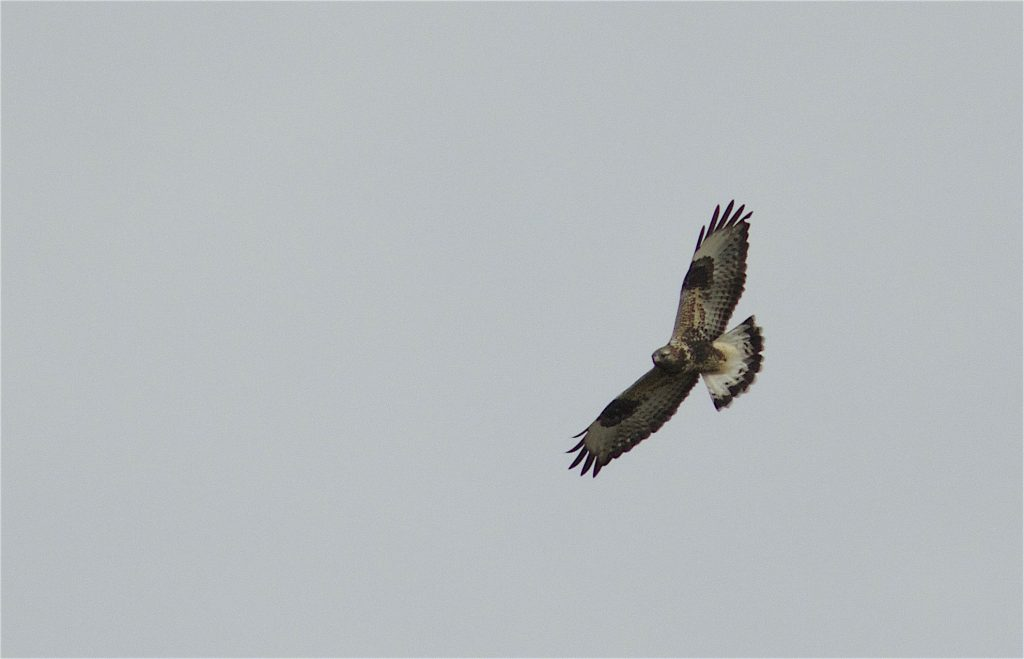 Vesan/Jockarp – rovfåglar